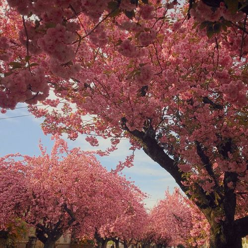 Beauty In Nature Blooming Blossom Botany Cherry Blossom Cherry Blossom Leaf Cherry Blossom Tree Cherry Tree Day Flower Growth In Bloom Leaves Nature Nature No People Outdoors Pink Pink Color Sky Sky And Clouds Spring Streetphotography Tree Tree