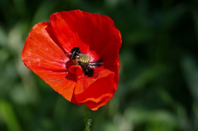 Flower One Animal Petal Beauty In Nature Nature Fragility Bumblebee Bumble Bee Bumble Bee Collecting Pollen Bumblebee On Flower Flower Head Red Poppy Sand-le-Mere Close-up No People Nature Flowers,Plants & Garden