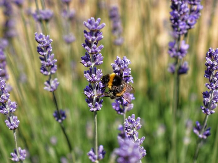 Close-up of bee pollinating on purple flowering plants