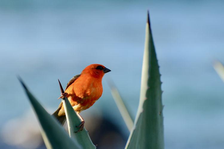 Close-up of bird perching on leaf, cardinal