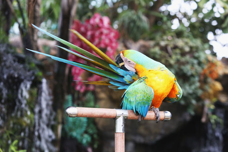 Macaw parrot is scratching his tail. Parrot is tilted to the tail. Animal Themes Animal Wildlife Animals In The Wild Beauty In Nature Bird Close-up Day Focus On Foreground Gold And Blue Macaw Macaw Multi Colored Nature No People One Animal Outdoors Parrot Perching Rainbow Lorikeet Scratching Tail Tree