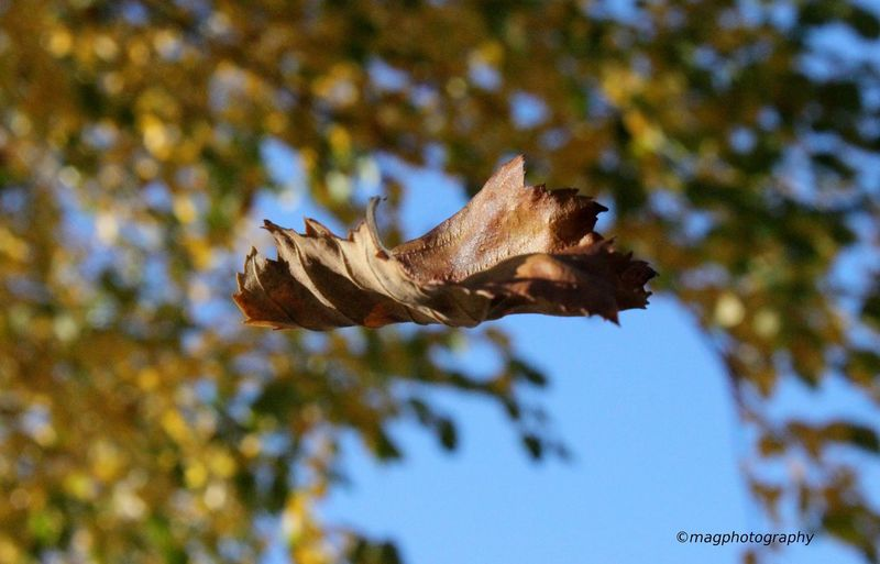 Enjoying the fall. Flying leaf. Flyingleaf Eyem Best Shots Nature_collection Nature Photography Nature_collection Outdoors Seattle, Washington Nepalipeople😊 For Sell Close-up Beauty In Nature Flying Beautiful Magphotography Photographic Memory No People Nature Day Outdoors Low Angle View Close-up Animal Themes Sky