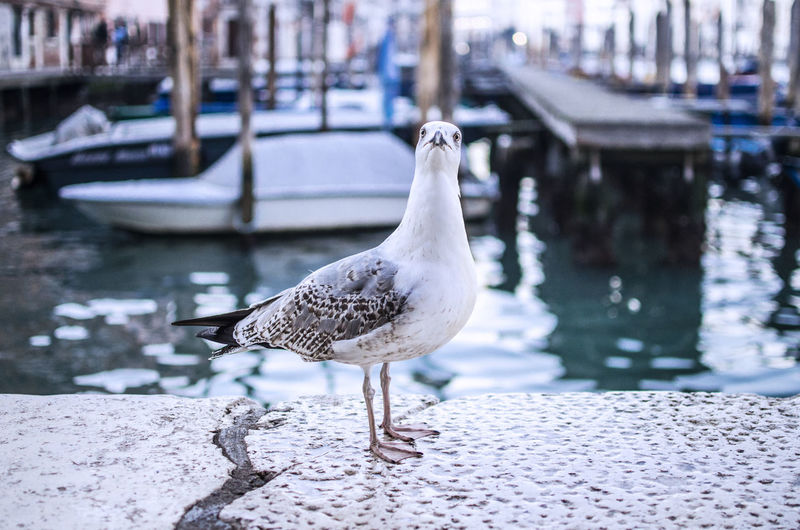 Seagull staring at camera not looking very smart Animal Themes Animal Wildlife Animals In The Wild Bird Close-up Day Focus On Foreground Harbor Idiot Nature Nautical Vessel No People One Animal Outdoors Perching Question Retaining Wall Seagull Venice Water Waterfront