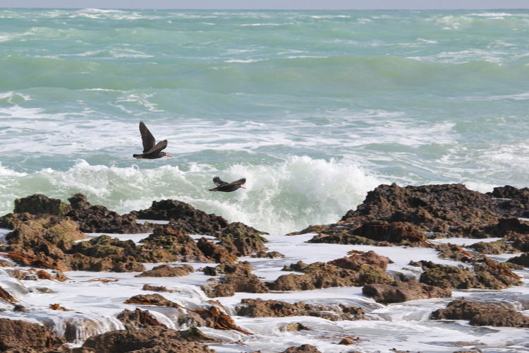 Seabirds Oyster Catchers Waves, Ocean, Nature Rocky Coastline Waves Crashing Southend South Australia