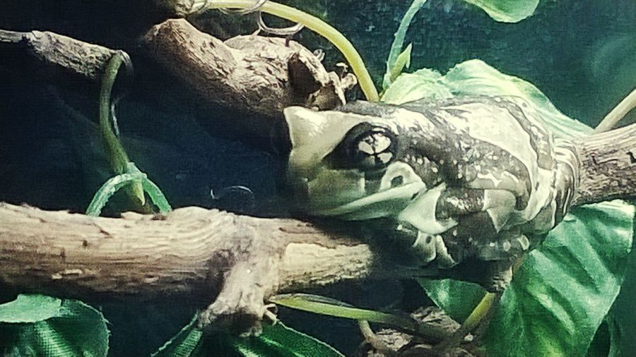 my woderfull little milk frog hanning out on its branch. Enjoying Life Animals Close Up (: