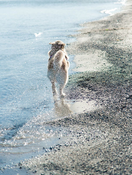 Golden Retriever running on the beach in the morning light. Animal Themes Beach Beauty In Nature Day Dog Domestic Animals Full Length Mammal Motion Nature No People One Animal Outdoors Pets Sand Sea Water