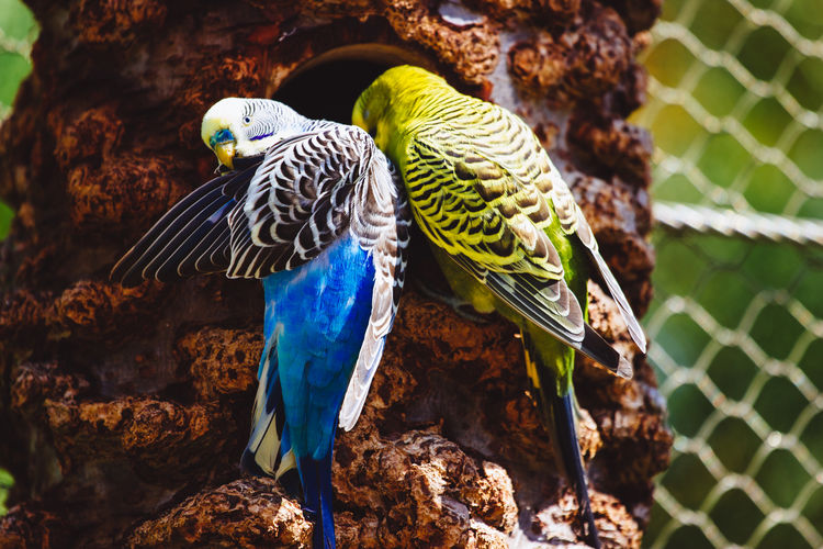 Blue and green parakeets on tree