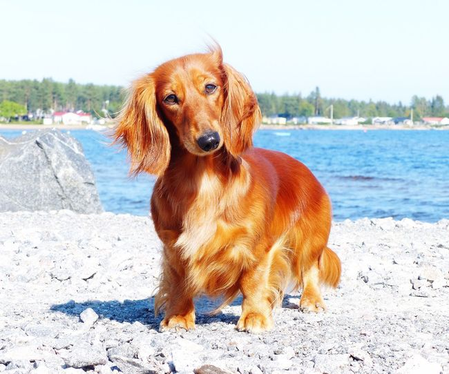 Pets Dog Domestic Animals Animal Themes Water Nature Animal Dachshund Animal Head  Outdoors No People Doxie