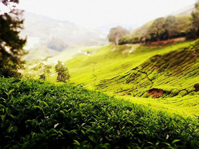 Tea Nature Farm Tea Farm