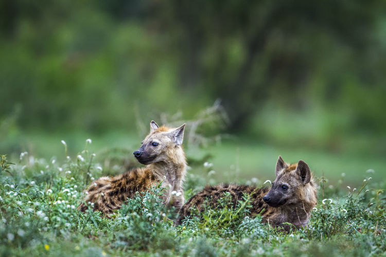 Hyenas looking away while sitting on land