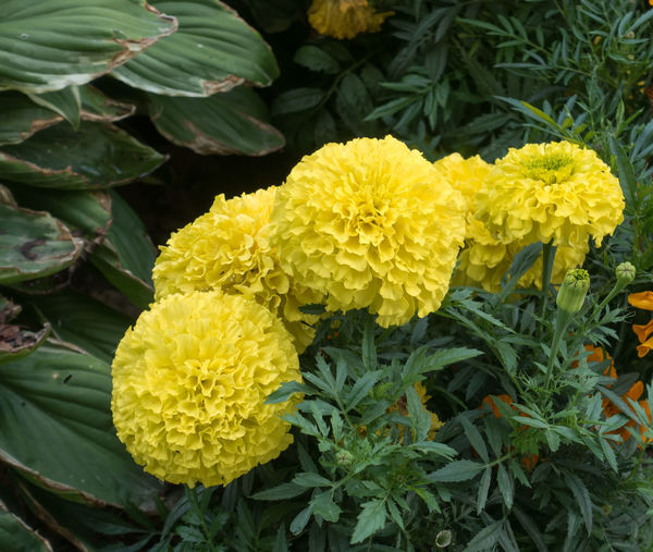 Yellow Marigolds closeup. Beauty In Nature Blooming Close-up Closed Day Flower Flower Head Fragility Freshness Green Color Growth Leaf Majestic Marigolds With Buddha Nature No People Outdoors Park - Man Made Space Petal Plant Yellow Young Adult