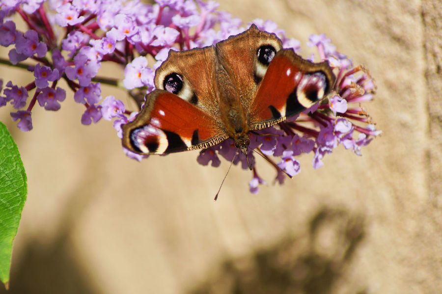 Pfauenauge auf Flieder Syringa Animal Themes Beauty In Nature Butterfly - Insect Close-up Commonlilac Flower Flower Head Fragility Insect Nature No People One Animal Outdoors Peacockbutterfly Plant Purple Purple Flower