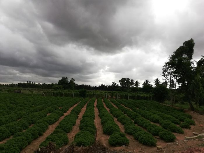 I-Net Photography Tree Rural Scene Agriculture Field Storm Cloud Crop  In A Row Sky Landscape Cloud - Sky Tea Crop Plantation Cultivated Land Agricultural Field Dramatic Sky Plowed Field Ear Of Wheat Chinese Tea Patchwork Landscape Cereal Plant Oilseed Rape Farm Rice Paddy Vineyard Vine Terraced Field Farmland Tea Leaves Wheat Cloudscape