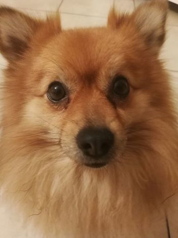 Pomeranian Puppy Spitz Looking At Camera Pets Portrait One Animal Dog Domestic Animals Close-up Mammal Animal Themes Brown Indoors