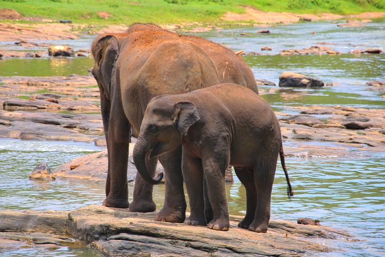Elephants in Sri Lanka Animal Animal Head  Animal Themes Animal Trunk Animals In The Wild Day Elephant Elephant Calf Front View Full Length Herbivorous Mammal Nature One Animal Outdoors River Riverbank Standing Vertebrate Wading Water Wildlife Young Animal Zoo Zoology