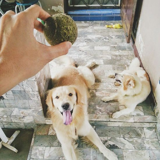 โอ้วววว ลูกบอลลลล (Play with me?) Dog Pet Pet13 Goldenretriever ball play