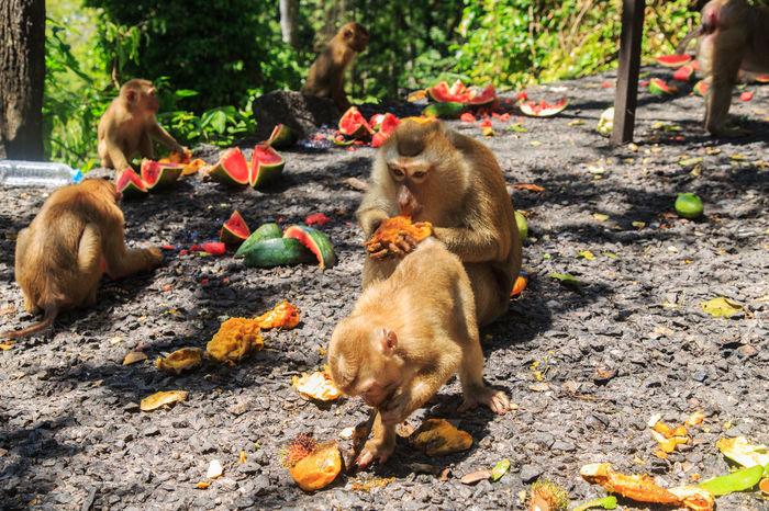 Banana Eating Mango Monkeys Family Monkeys Family In The Forest Rambutan Animal Wildlife Animals In The Wild Baby Monkeys Eating Food Forset Fruits Group Of Animals Hungry Mammal Nature Outdoors Rodent Tree Watermelon🍉🍉🍉