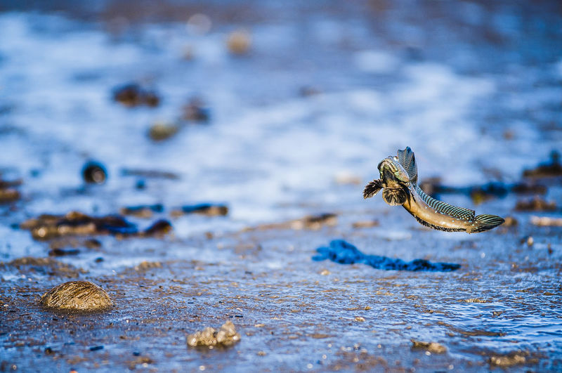 Mudskipper Jumping Over Mud