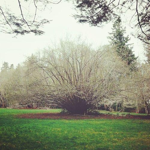This tree! I climbed into this tree. I love days like these. If faeries live anywhere it's here. Tree Nature Park Fillongleypark denmanisland grass green faeries fairies springtime spring explorebc beautifulbc westcoast