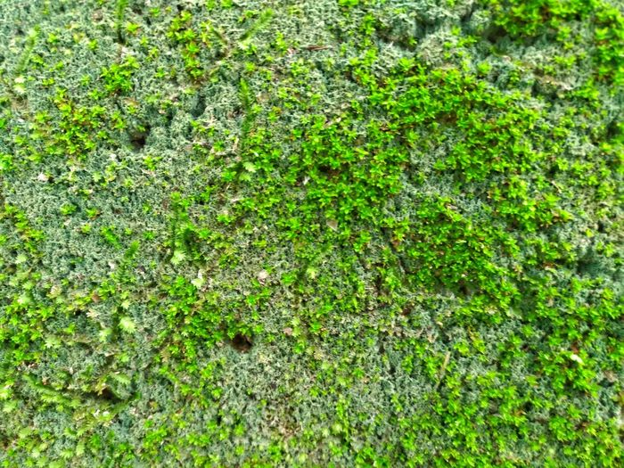 Green moss mat. Autumn, Background, Beautiful, Cover, Decorative, Detail, Environment, Evergreen, Field, Floor, Flora, Foliage, Forest, Fresh, Freshness, Garden, Gardening, Golden, Grass, Green, Ground, Growth, Isolated, Large, Layer, Leaf, Leafs, Life, Light, Material,  Background Details Of Nature Details Textures And Shapes Faelvilalta Forest Grass Green Background Green Rock Green Velvet Nature Nature Photography Rafael Vilalta Rafaelvilalta Shapes And Patterns  Shapes In Nature  Textured Surface Textures And Surfaces Velvet Wood Woods