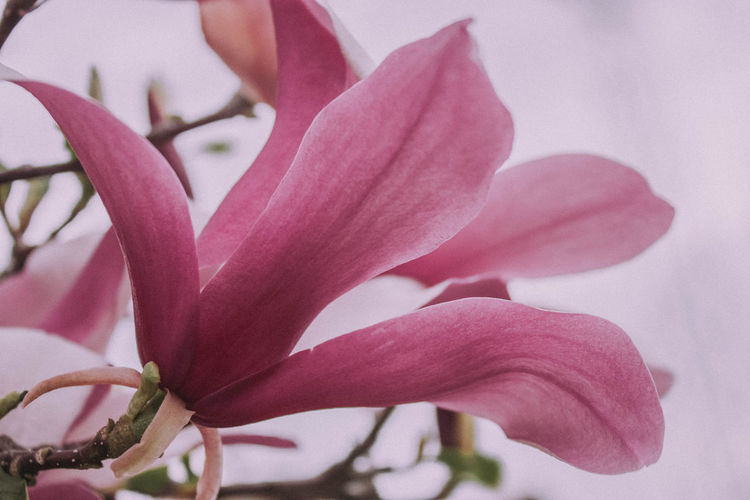 Magnolia Magnolia Tree Beauty In Nature Blooming Blossom Close-up Day Flower Flower Head Flowering Plant Focus On Foreground Fragility Freshness Growth Inflorescence Nature No People Outdoors Petal Pink Color Plant Spring Vulnerability  Visual Creativity Summer Exploratorium