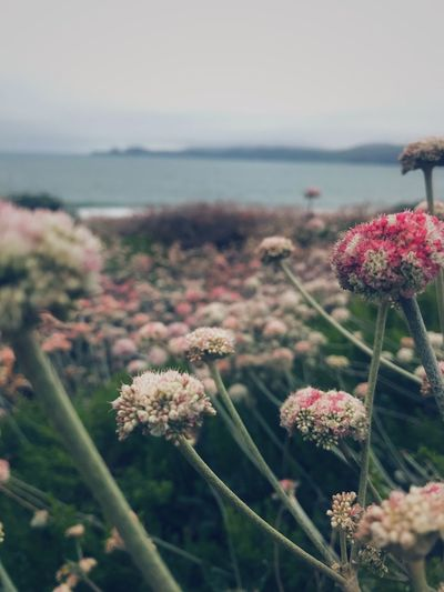 🌸🌸 Flower Nature Sea Beauty In Nature Plant Fragility No People Growth Focus On Foreground Day Outdoors Petal Freshness Flower Head Water Horizon Over Water Close-up Tranquility Scenics Sky