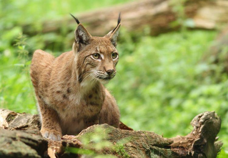 Lynx Mammal