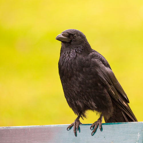 Animal Beauty In Nature Bird Close-up Crow Focus On Foreground Outdoors