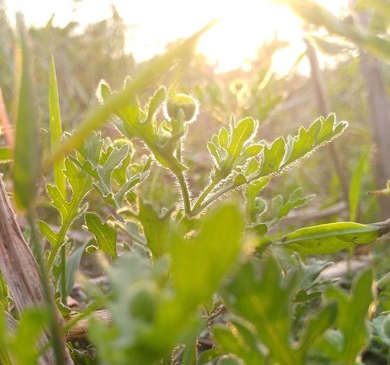 Glow Sunlight