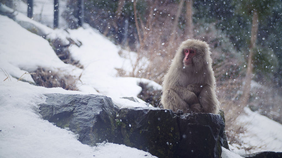 Japanese macaque sitting on rock at snow covered field in jigokudani monkey park