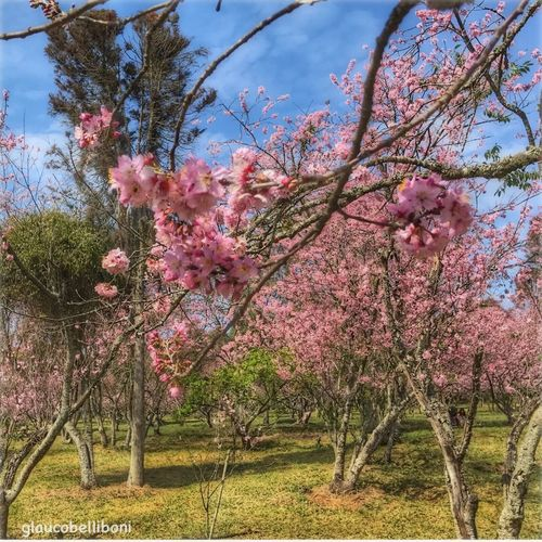 Cherry Trees in São Paulo Tree Flower Blossom Beauty In Nature Nature Blooming Cherry Blossoms Cherry Tree Bosque Das Cerejeiras Parque Do Carmo Sao Paulo - Brazil Park Saopaulocity Festa Das Cerejeiras Beautiful Nature Cherryblossoms