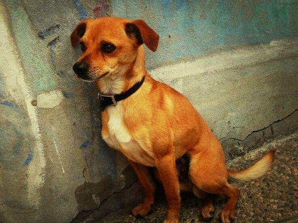 Murano island pup