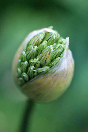 Close up of buds, allium flower on green background