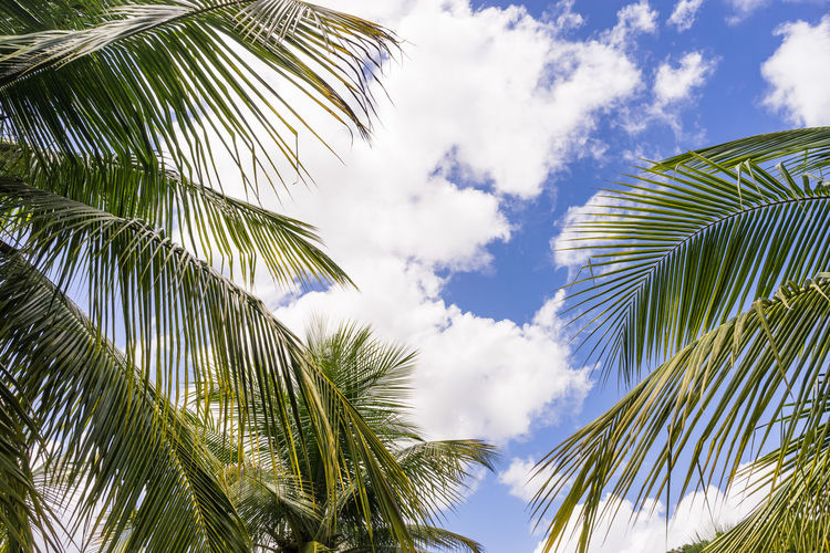 Coconut tree. Palm trees against blue sky. Beauty In Nature Cloud - Sky Coconut Palm Tree Day Green Color Growth Leaf Leaves Low Angle View Nature No People Outdoors Palm Leaf Palm Tree Plant Plant Part Sky Sunlight Tranquility Tree Tropical Climate Tropical Tree