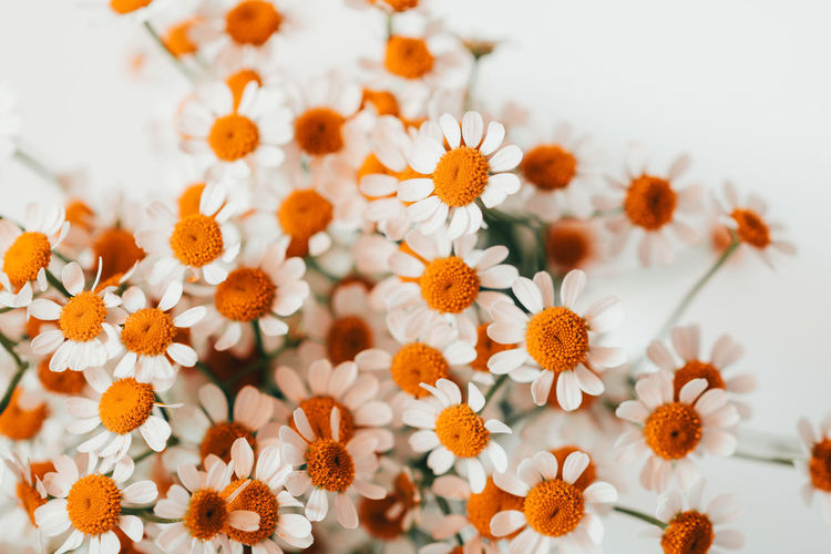 Flowering Plant Flower Freshness Fragility Vulnerability  Plant Beauty In Nature Close-up Petal No People Flower Head Inflorescence Growth Nature Pollen Orange Color Daisy Selective Focus Day Outdoors