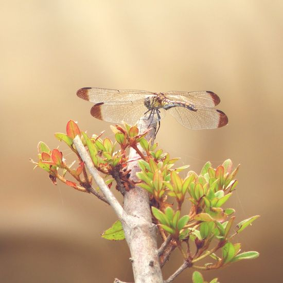 shhh Dragonfly Macro Insect  Insect Nature