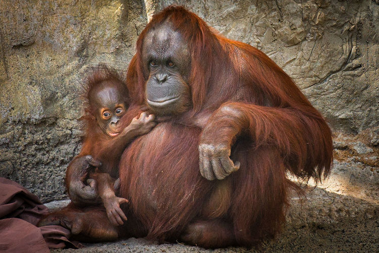 Animal Themes Animals In The Wild Brown Mammal No People One Animal Orangutan Outdoors Sitting Wildlife Zoo Animals  Zoology