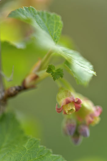 Blossom from Red Currant ( Ribes Rubrum ) Plant Growth Selective Focus Close-up Beauty In Nature Green Color Vulnerability  Freshness Fragility Flower Nature No People Plant Part Leaf Flowering Plant Day Petal Vegetable Inflorescence Outdoors Flower Head Makro EyeEm Nature Lover Makro Photography Red Currant Garden Photography Berry Bush Springtime Crop  Nikon Nikonphotographer Leaves Gardening Blossom