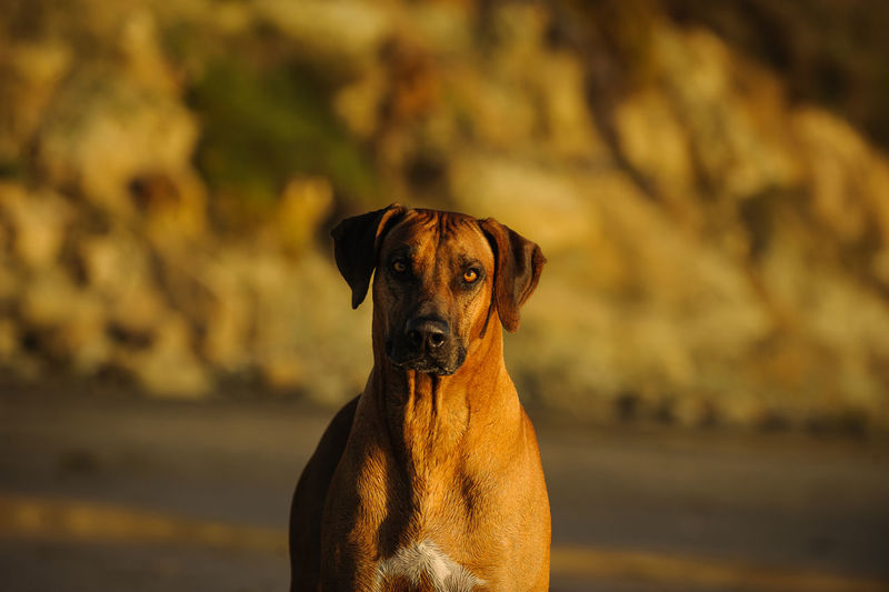 Portrait of rhodesian ridgeback at park