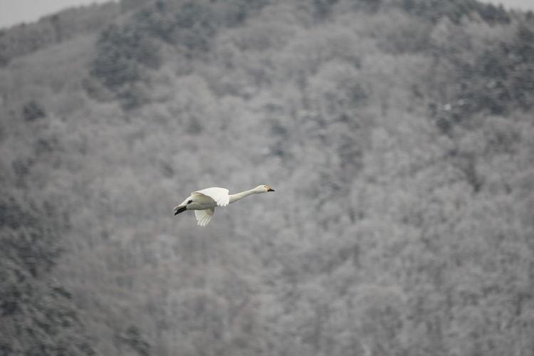 犀川の白鳥 白鳥 Swan Bird Flying White Color Nature Swans Flying Swan Flying Bird Photography Swan Photography Bird Flying