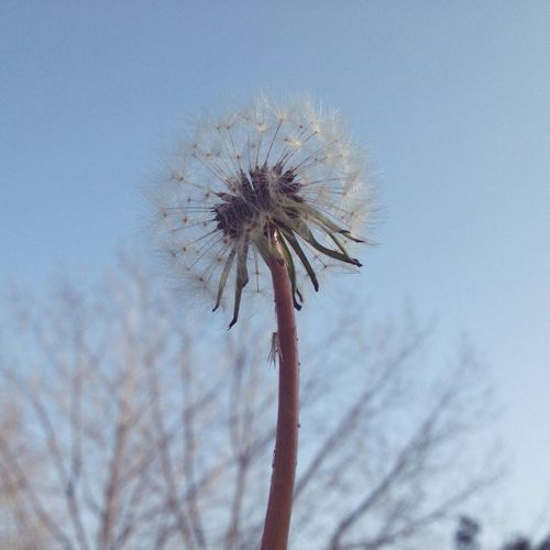 Close-up of dandelion flower against sky