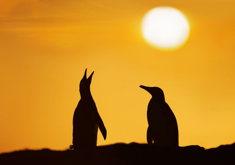 Silhouette penguins against orange sky during sunset