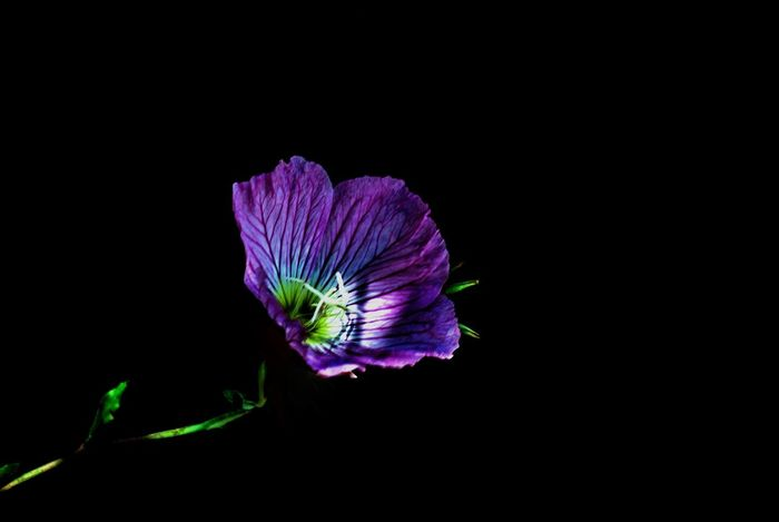 Purple Flower Black Background Nature Plant Freshness Fragility Beauty In Nature Growth Flower Head Close-up No People Hello World Relaxing Tranquility Macro Photography Macro Outdoors