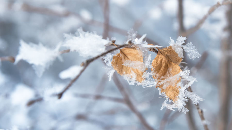 Close-up of frozen leaves on tree during winter