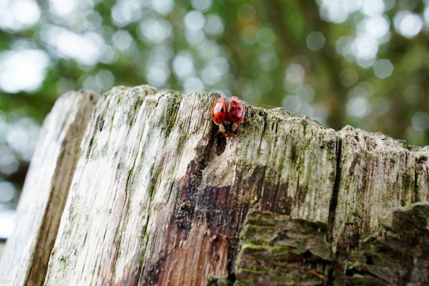 Ladybug Insect Animal Themes Spotted Close-up Wood - Material Outdoors No People Day Nature Forest Autumn🍁🍁🍁 Forests Tree Trunk Macro Photography Macro Macro Macro Photography Macrophotography Animals In The Wild Animal Wildlife