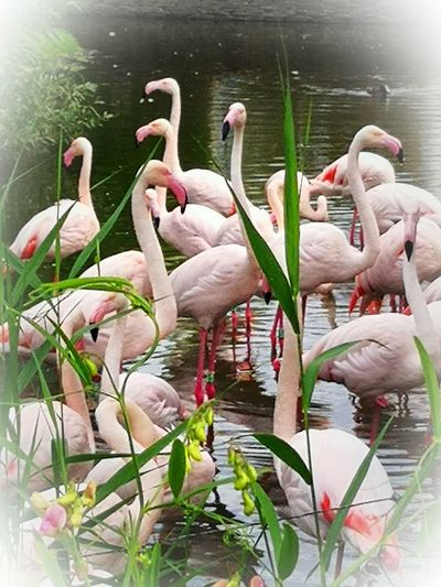 Flamingo Bird