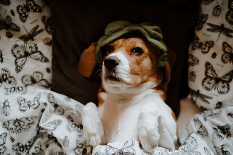 Portrait of beagle dog sitting on bed at home