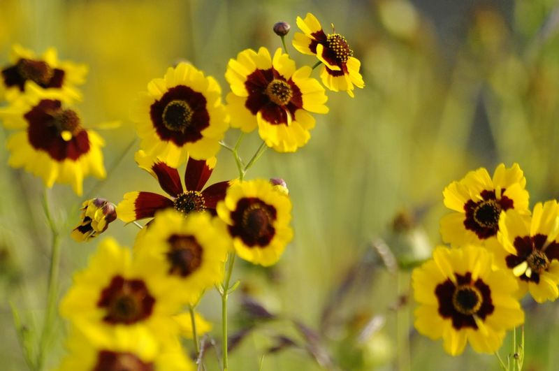 Flower Head Flower Yellow Thistle Petal Botanical Garden Uncultivated Black-eyed Susan Outdoor Pursuit Multi Colored