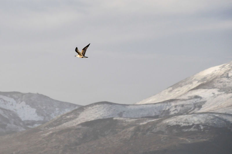 Seagull flying over mountains against sky