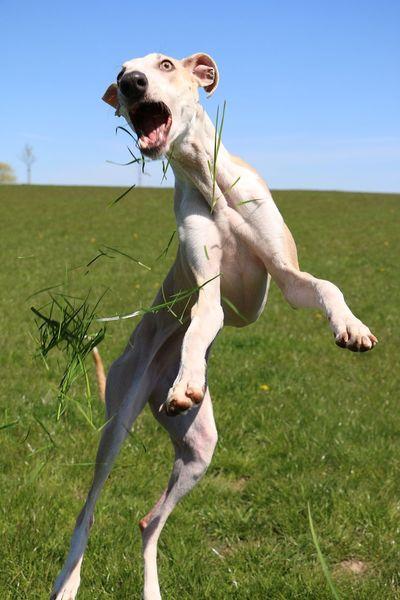 funny galgo is jumping in the garden and catching grass Feld Funny Galgo Galgo Español. Wiese  Catching Crazy Day Fangen Field Fliegen Flying Galgoespañol Garten Grass Jumping Lustiger Hund Nature Outdoors Sighthound Springen Summer Verrückt Windhund Witzig